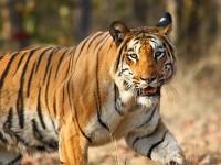 800px-Nagzira_Tiger_By_Vijay_Phulwadhawa